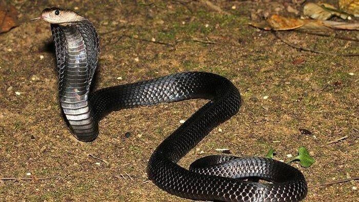 Sempat Berhadapan dengan Kucing Ular Kobra 2 Meter Muncul di Depan Pintu Rumah Warga